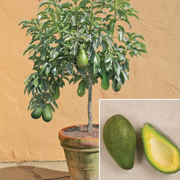 How to Grow an Avocado Tree From Its Pit