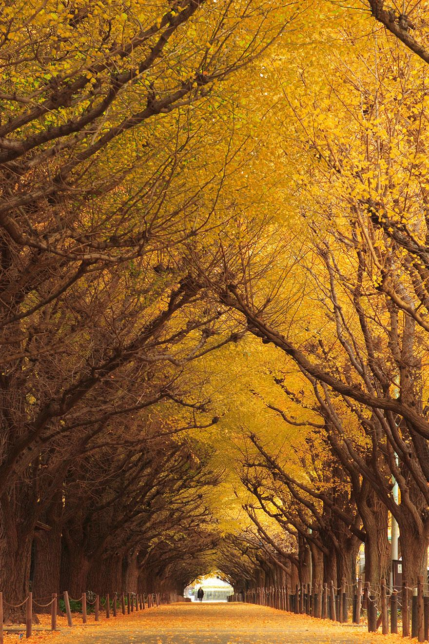 Gingko Tree Tunnel, Japan