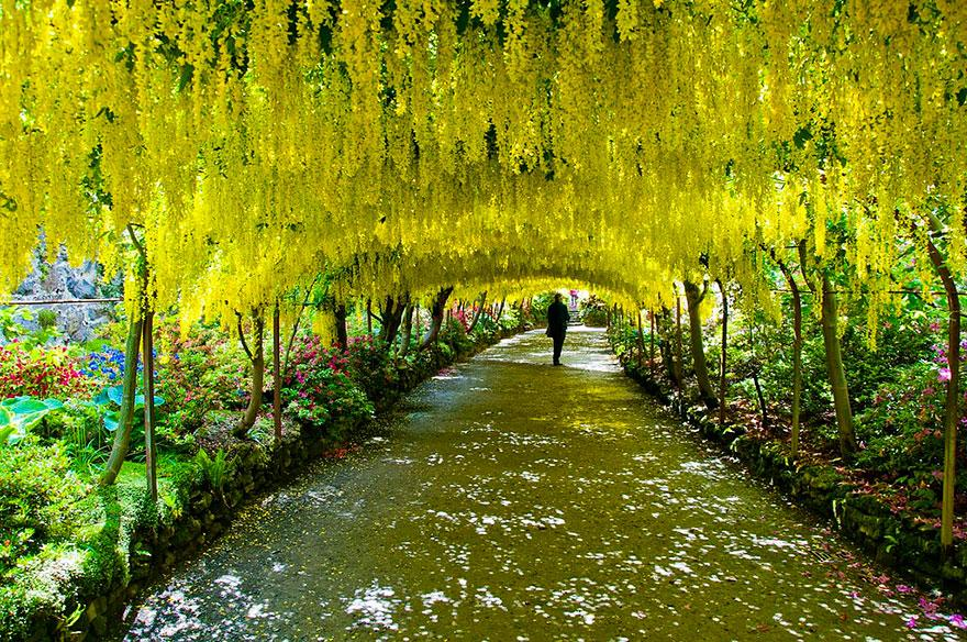 Laburnum Tunnel in Bodnant Gardens, United Kingdom