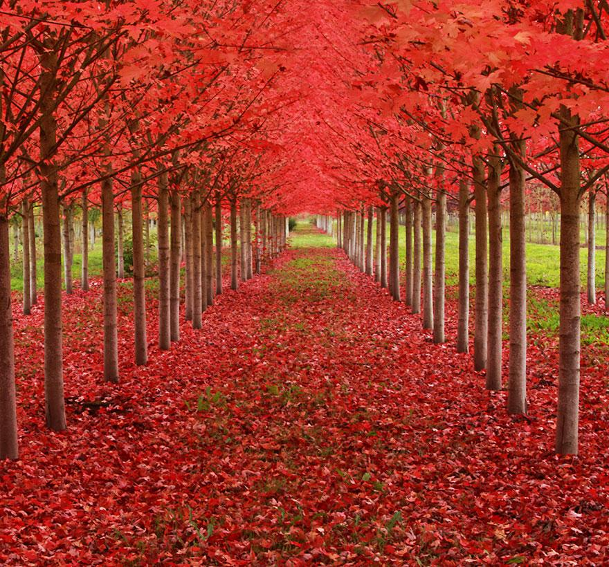 Maple Tunnel in St. Louis, Oregon