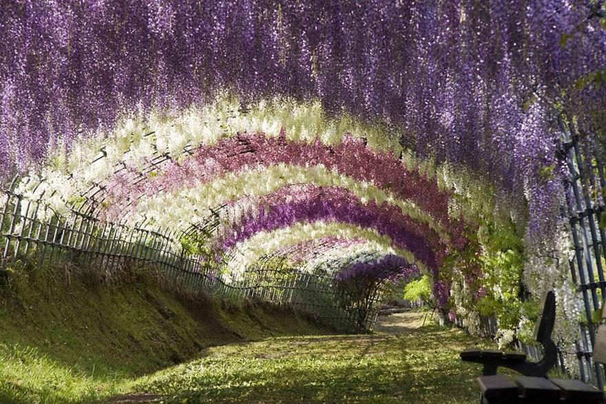 Wisteria Flower Tunnel, Japan