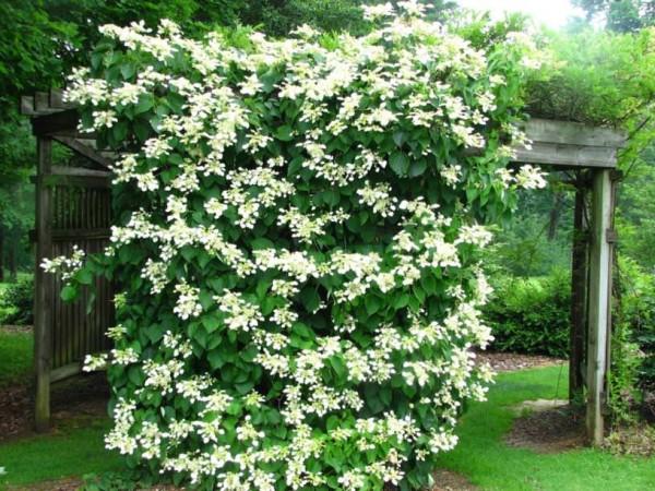 climbing hydrangea vine
