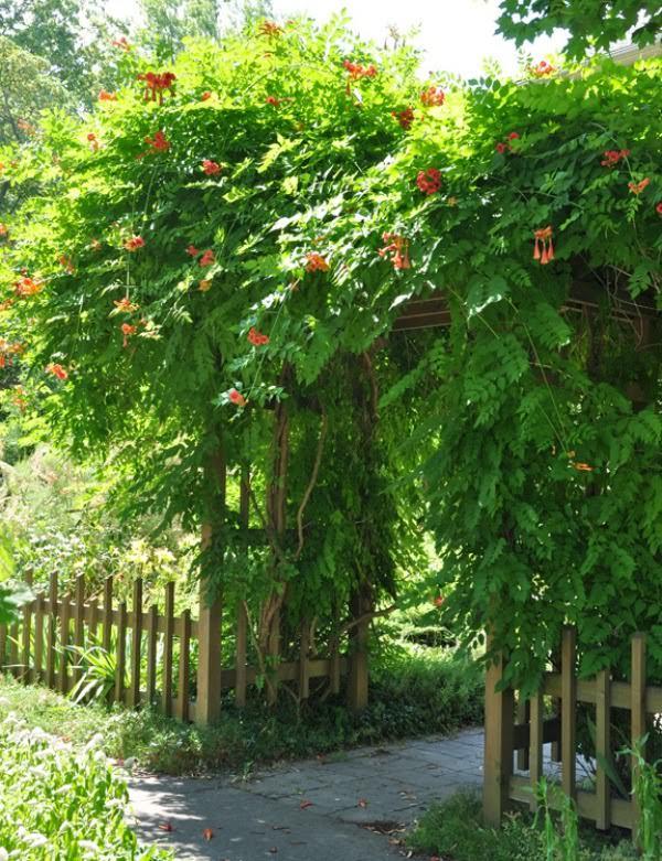 climbing plants for arbors
