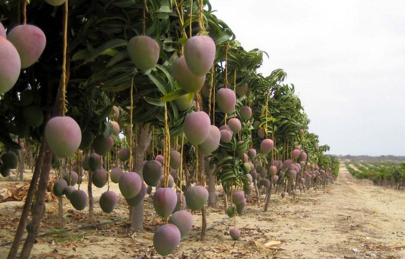 Image result for mango planting