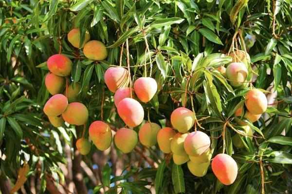 Image result for MANGO TREE IN POT