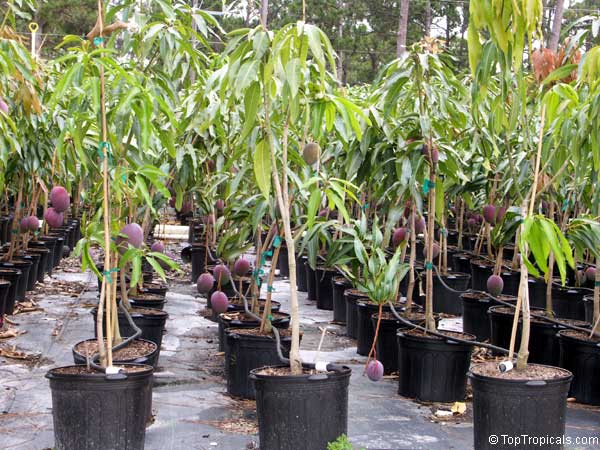 Image result for Mango Trees in Containers