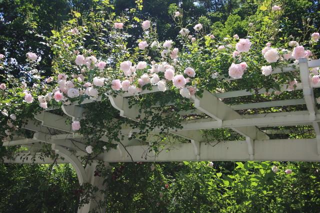 rose on pergola