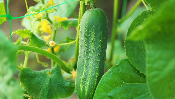 Image result for CUCUMBER PLANT