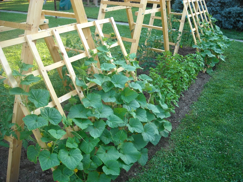 Image result for cucumber planting