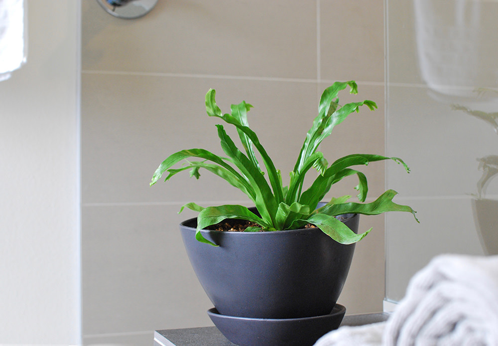 Bath & Shower Plants   How to Join The Trend
