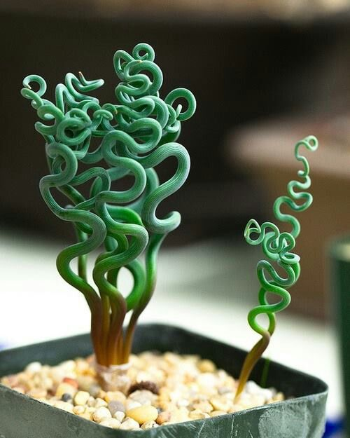 Crassula succulent. Hard to believe this is real