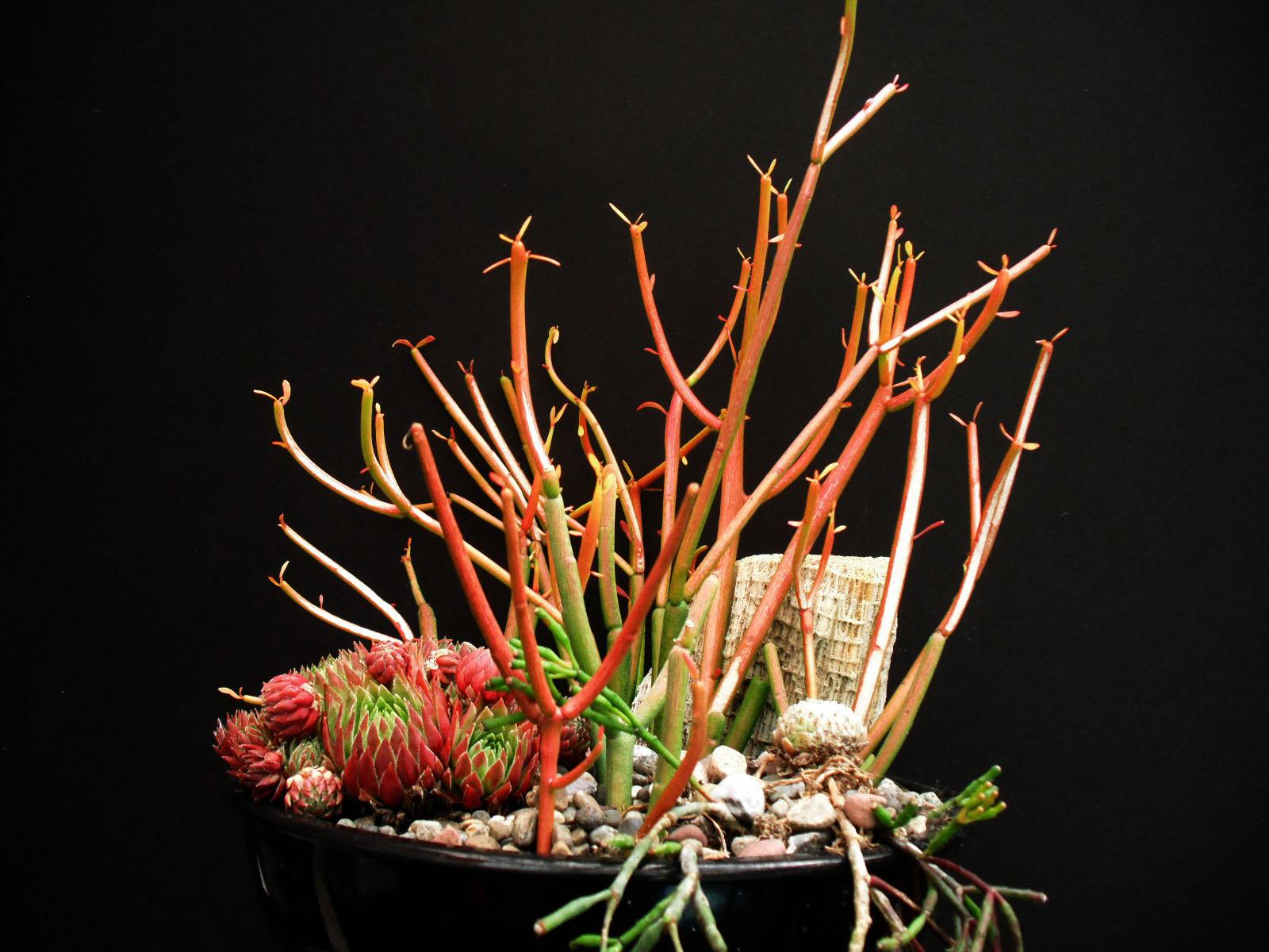 Image result for Euphorbia Tirucalli