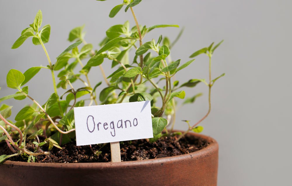 Image result for oregano plant