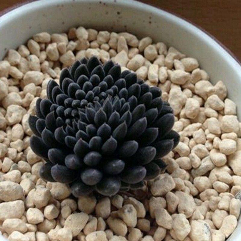 Image result for Sinocrassula 'Yunnanensis'