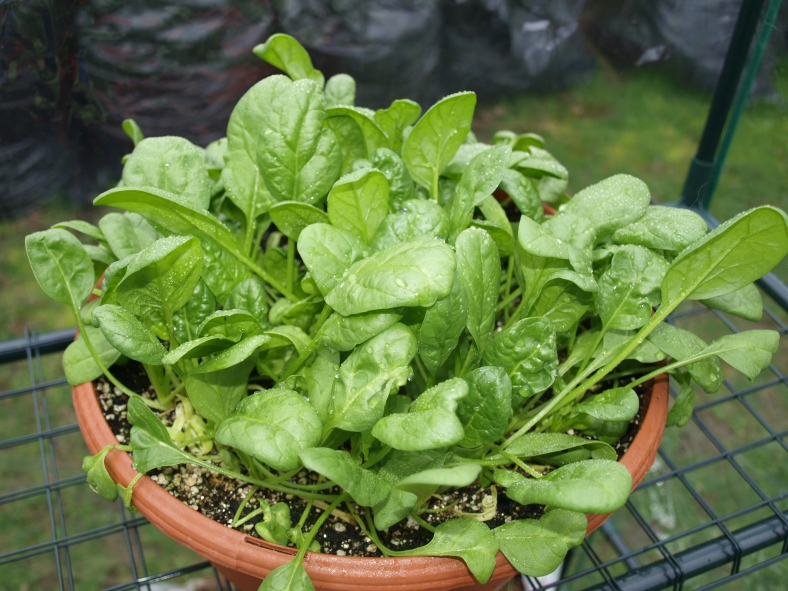 Image result for spinach plant pot