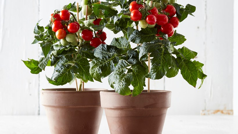Image result for tomato plant indoors