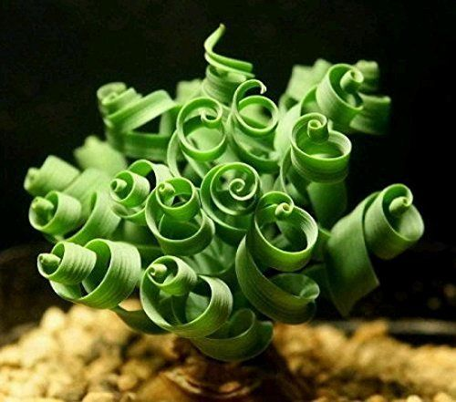 Moraea tortilis or Spiral Grass is a bulbous plant known for its very unusual and ornamental twisting and curly leaves that resemble a corkscrew.