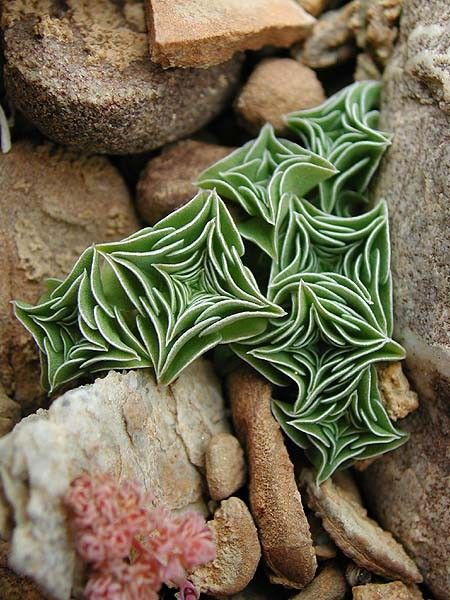 starfish succulent: mind blown! These are def going in my chicks n hens boxes this spring!