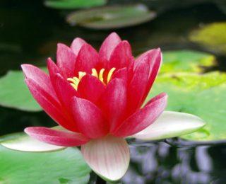 Τέλεια Φυτά Λιμνών