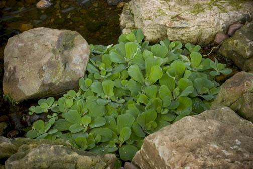 https://www.thegardenglove.com/wp-content/uploads/2015/05/Water-Lettuce.jpg