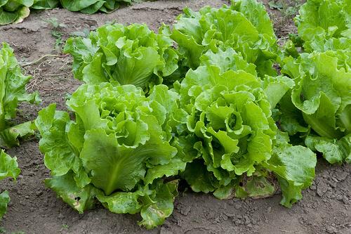black seed simpson lettuce