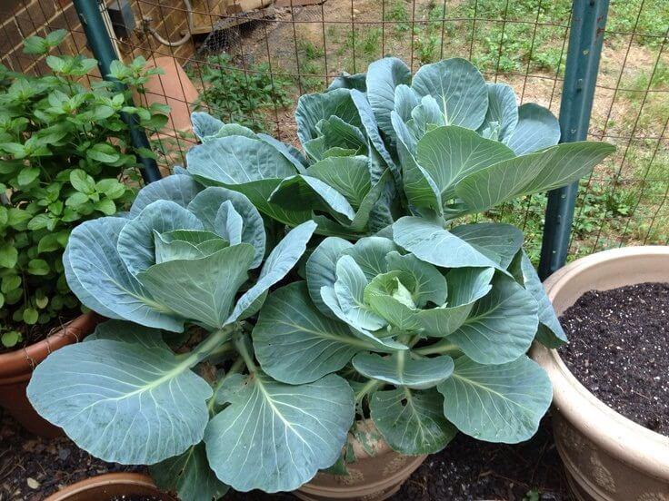 collard greens in pot