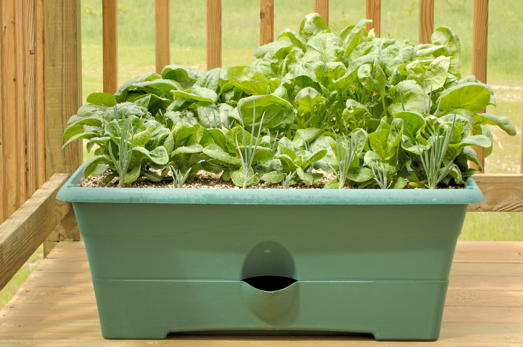 how to grow spinach in a pot