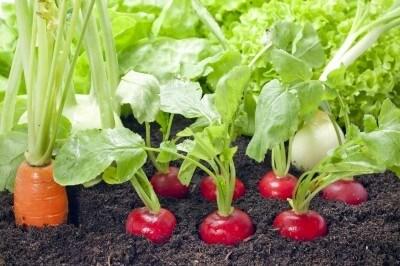 radishes in garden