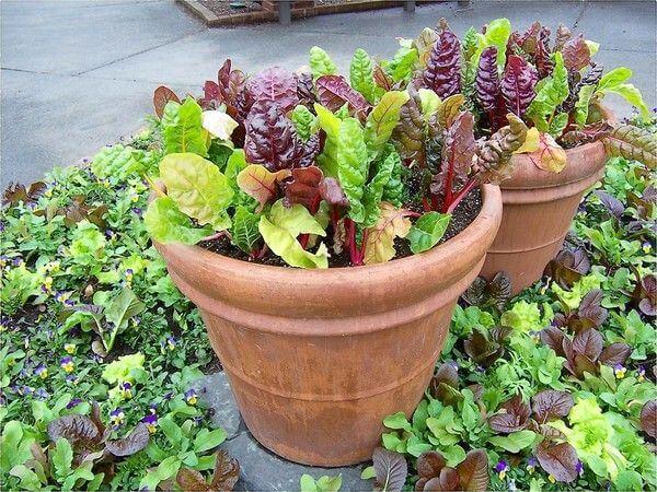 swiss chard in pots