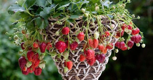 12 Clever & Creative Ways To Grow Strawberries.