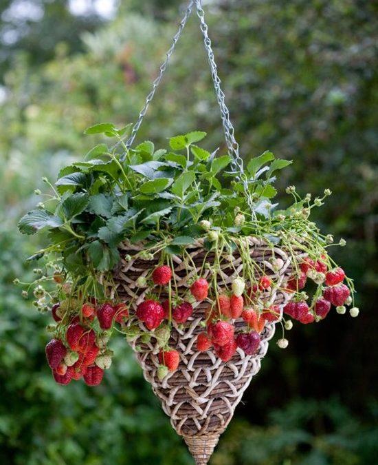 12 Έξυπνοι & Δημιουργικοί Τρόποι Ανάπτυξης Φράουλας.